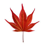 Leaf of maple tree on white background Stock Images