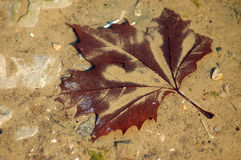 Leaf. Maple Leaf under water from a puddle Royalty Free Stock Photos