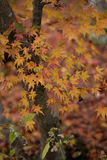 Leaf of a maple which turns red. Leaf of a maple in Autumn stock images