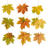 Leaf maple  on white background Royalty Free Stock Photo