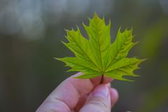 Leaf of mapple Stock Images