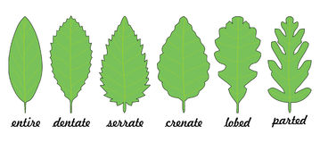 Leaf margin shapes. For trees Stock Image