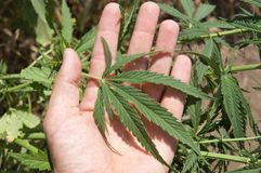 Leaf of marijuana Royalty Free Stock Images