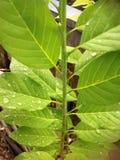Leaf med dagg Royaltyfri Fotografi