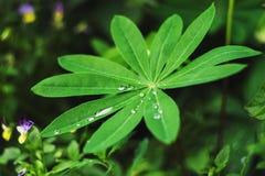 Leaf med dagg Fotografering för Bildbyråer