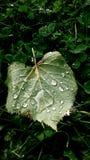Leaf med raindrops Royaltyfria Bilder