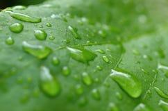 Leaf med raindrops Fotografering för Bildbyråer