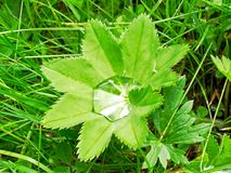 Leaf the medicinal herb lady's mantle and the characteristic blob Royalty Free Stock Image