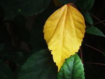 Leaf of the mellow Stock Photography