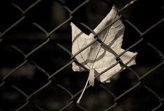 Leaf and metal fence. Closeup of cream colored leaf trapped in metal fence with black background Royalty Free Stock Photos