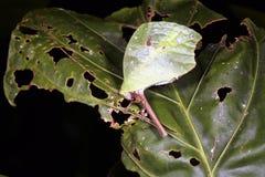 Leaf mimic katydid Stock Images
