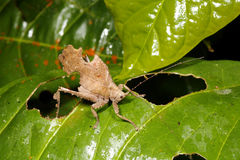 Leaf mimic katydid. In the Ecuadorian Amazon Royalty Free Stock Photography