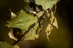 Leaf mimic praying mantis and leaf. A leaf mimic praying mantis camouflaged next to a cluster of leaves Stock Photos