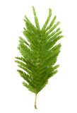 Leaf of mimosa isolated on white Stock Photo