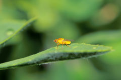 Leaf miner Royalty Free Stock Photo
