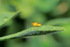 Leaf miner. A orange leaf miner stands on leaf Royalty Free Stock Photo