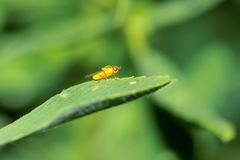 Leaf miner Royalty Free Stock Photography