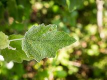 Leaf miners. Closeup of leaf showing the damage of leaf miners Royalty Free Stock Photos