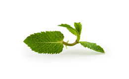 Leaf mint. Leaf of mint on white background Royalty Free Stock Images
