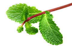 Leaf of mint royalty free stock photo