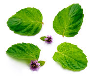 Leaf of mint with flower Royalty Free Stock Photography
