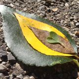Leaf Mix. Layers of leaf variety. Heart and Nature Royalty Free Stock Image