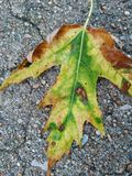 Leaf 1. Mobile photography of a fall-like leaf that fell after severe storms rolled through Royalty Free Stock Photography
