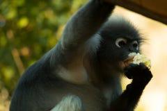 Leaf monkey Royalty Free Stock Image