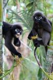 Leaf monkey or Dusky langur, Wild animals are eating fruit or be stock photo
