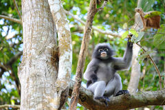Leaf Monkey. In Forest Thailand Stock Images