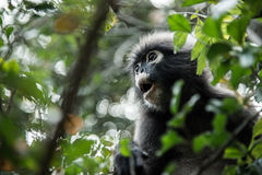 Leaf monkey Royalty Free Stock Photos