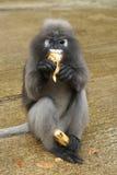 Leaf Monkey Stock Photos