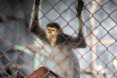 Leaf Monkey,Red-shanked Douc (Pygathrix nemaeus) in the cage Royalty Free Stock Photography