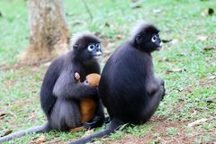 Leaf monkeys are caring yellow baby in the garden Royalty Free Stock Photos