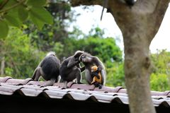 Leaf monkeys are caring yellow baby in the garden, Wildlife in T Stock Image