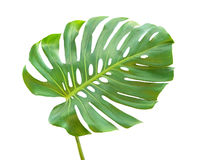 Leaf of monstera. Close up of lLeaf of monstera Royalty Free Stock Photos
