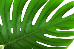 Leaf of a monstera Stock Photography