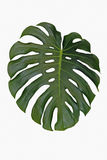 Leaf of monstera deliciosa Royalty Free Stock Image