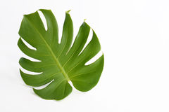 Leaf of Monstera deliciosa. Leaf of Monstera of large beautiful green on white background Royalty Free Stock Photos