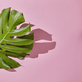 Leaf Monstera on pink background Stock Photography