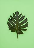 Leaf of Monstera plant Royalty Free Stock Photography