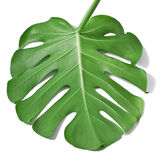 Leaf of Monstera plant. One Big green leaf of Monstera plant, isolated on white background Royalty Free Stock Image