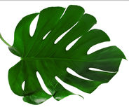 Leaf of Monstera plant. One Big green leaf of Monstera plant, isolated on white background Royalty Free Stock Images