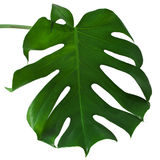 Leaf of Monstera plant Stock Image