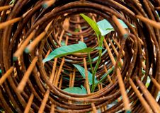Leaf of morning glory insert in roll of rusty steel wire mesh Stock Photo