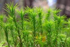 Leaf Moss Stock Photo
