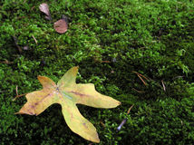 Leaf on Moss. A fallen maple leaf rests on a bed of moss Stock Photos
