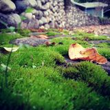 Leaf on moss. Fall leaf on moss in driveway with rock wall backdrop and house in background royalty free stock image
