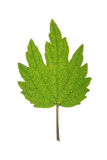 Leaf of Motherwort isolated on white Royalty Free Stock Images