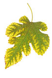 Leaf from the mulberry Royalty Free Stock Photo